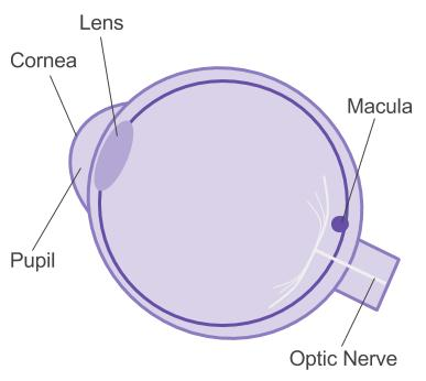 Diagram of an eye - AMD